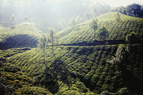 india, kerala, munnar, tea, plantation, terrace,